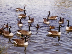 geese_on_water_with_ducks_photographs_photos_pictures_1024_x_768